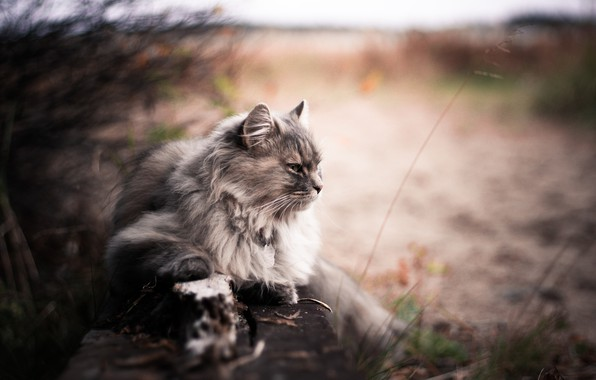 Picture Bokeh, Blur, Animals, Cats