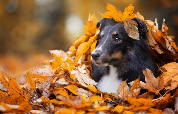 Picture sadness, autumn, eyes, look, face, leaves, Park, background, foliage, black, leaf, portrait, dog, yellow, puppy, …