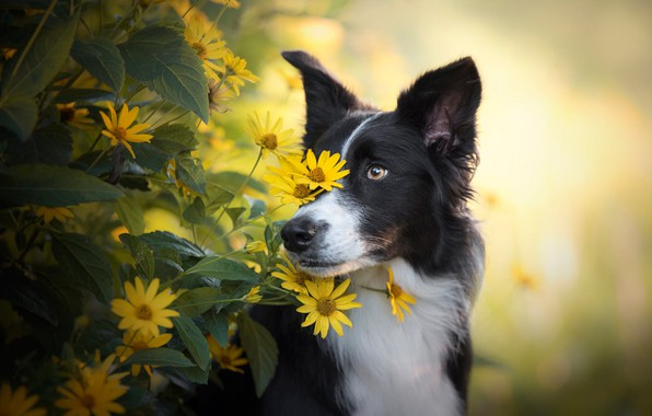 Picture eyes, look, face, leaves, flowers, nature, portrait, dog, yellow, garden, black, yellow background, the border …