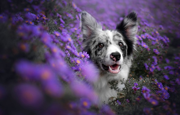 Picture look, face, flowers, dog, lilac, bokeh, the border collie, lilac background