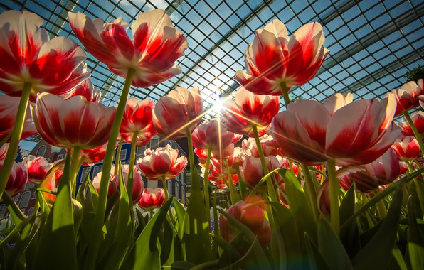 Picture rays, greenhouse, petals, tulips