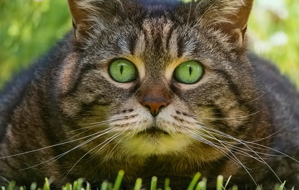 Picture grass, cat, look, face, Kote, eyes, kotofeich