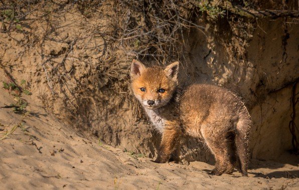 Picture nature, Fox, beast