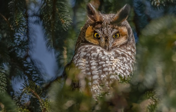 Picture look, branches, owl, bird, Long-eared owl
