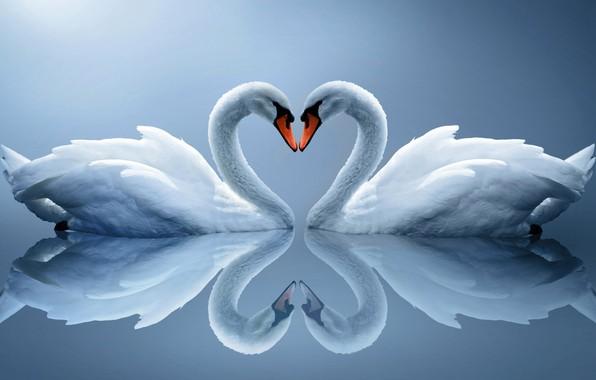 Picture reflection, bird, Swan, neck