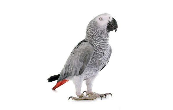 Picture bird, parrot, white background