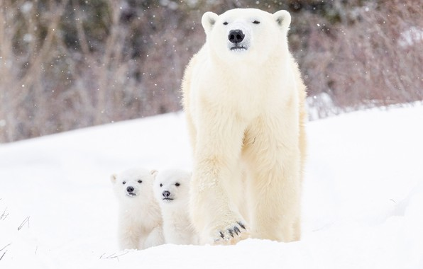 Picture winter, snow, bears, bear, cubs, Polar bears, two of the bear, Polar bears