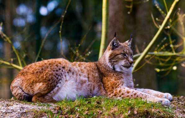 Picture forest, grass, look, face, branches, nature, the dark background, tree, paws, lies, lynx, wild cat, …