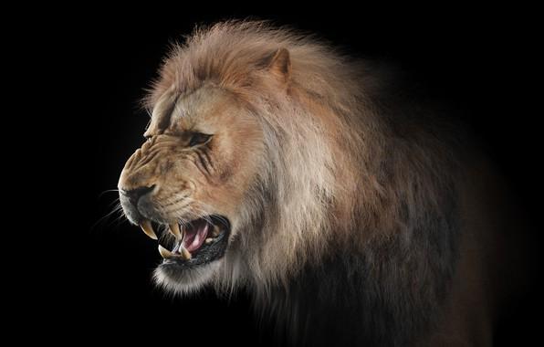 Picture cat, predator, Leo, art, grin, big cat, Dmytro Teslenko, Lion 3D