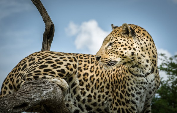 Picture leopard, snag, wild cat