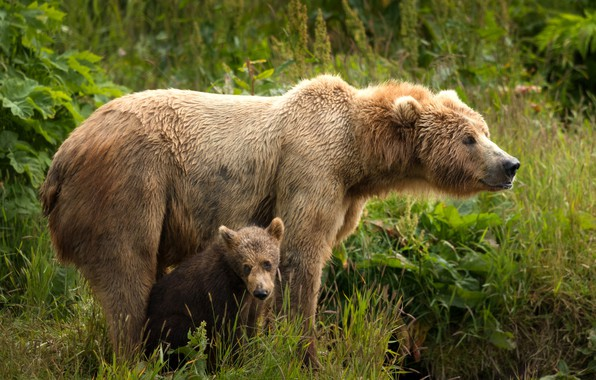 Picture greens, summer, grass, look, leaves, nature, pose, baby, bear, pair, bear, a couple, two, muzzle, …