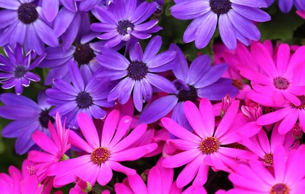 Picture macro, petals, purple, pink, Osteospermum