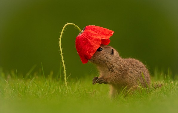 Picture flower, grass, look, drops, red, Mac, cub, gopher, green background