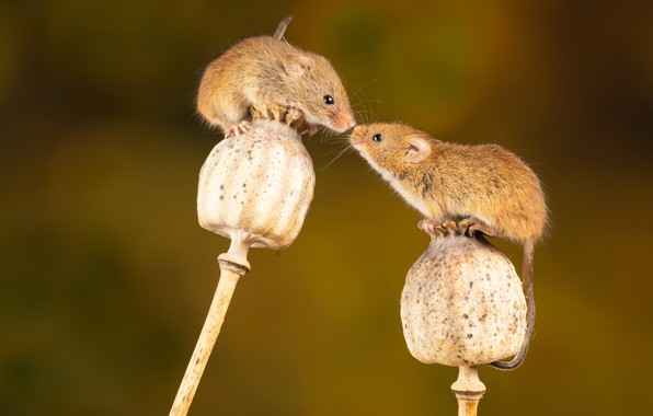 Picture Maki, rodent, mouse, rodent, the mouse is tiny, dry stems, Nick Fewings, Micromys minutus