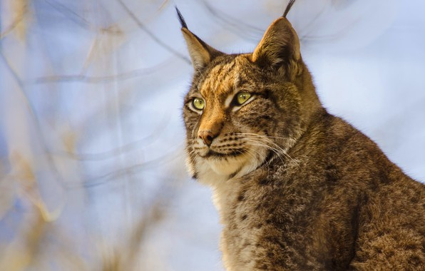 Picture cat, the sky, look, face, branches, nature, background, portrait, wild cats, lynx
