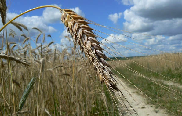 Picture road, the sky, clouds, macro, grain, ear, rye, Belarus, my photo, triticale, full grain