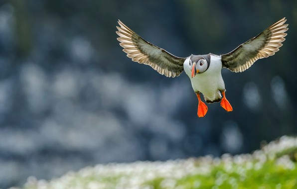 Picture sea, flight, background, blue, bird, shore, wings, stalled, flies, stroke, bokeh, blurred background, Atlantic puffin, …