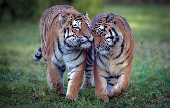Picture love, tiger, wild cats, a couple, tigers, tigress