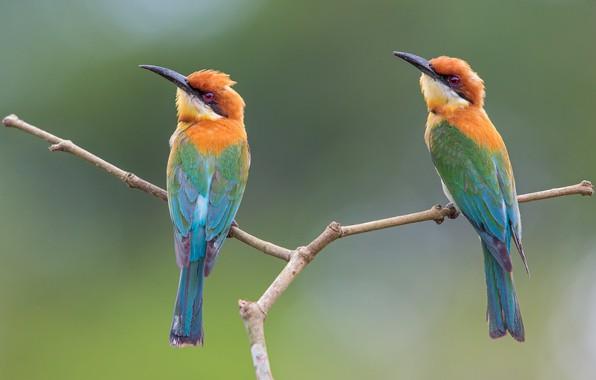 Picture background, branch, pair, bee-eaters, schurka, Merops leschenaulti, Belogolova schurka