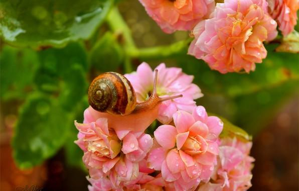 Picture Macro, Flowers, Drops, Snail, Flowers, Macro, Drops, Snail
