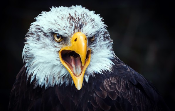 Picture nature, bird, eagle