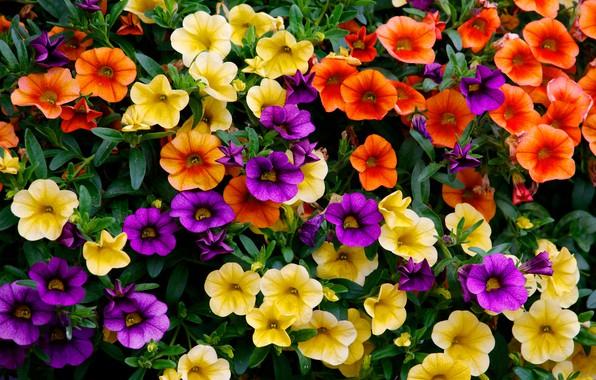 Picture colorful, a lot, Petunia