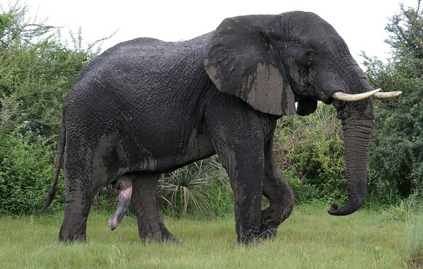 Picture Nature, Elephant, male