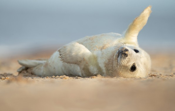 Picture pose, shore, seal, baby, lies, face, cub, fins