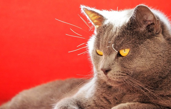 Picture cat, muzzle, red background, Kote, serious