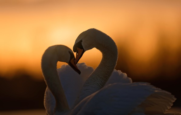 Picture love, sunset, birds, pair, a couple, swans