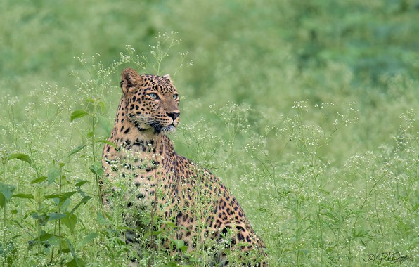 Picture grass, look, leopard, wild cat