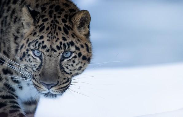 Picture nature, beast, Amur Leopard