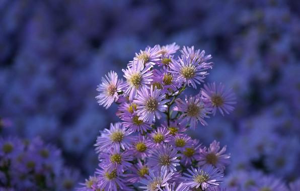 Picture flowers, garden, chrysanthemum