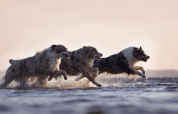 Picture dogs, water, running