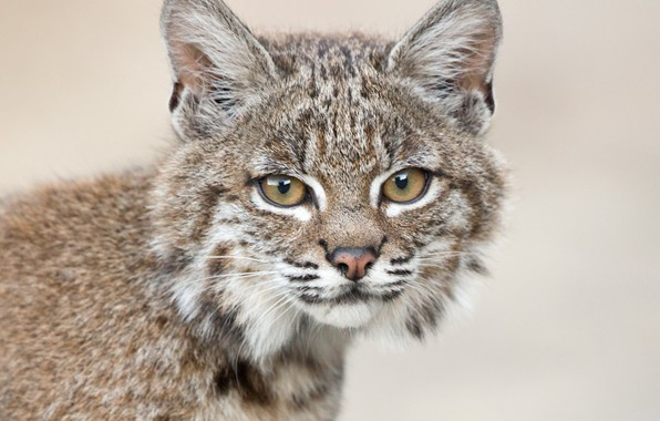 Picture look, background, portrait, muzzle, cub, kitty, lynx, wild cat, a small lynx