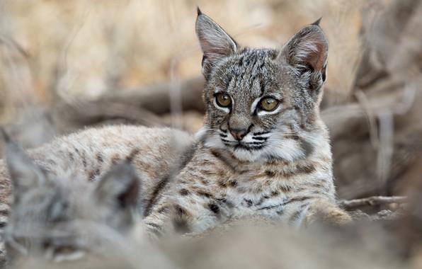 Picture cub, kitty, lynx, wild cat