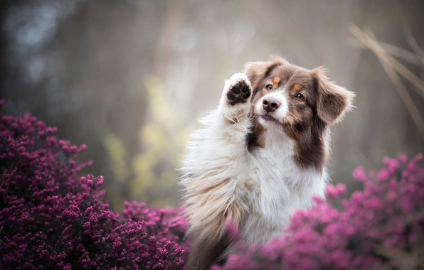 Picture summer, look, face, flowers, nature, pose, background, paw, portrait, dog, lilac, bokeh, Australian shepherd, spotted, …