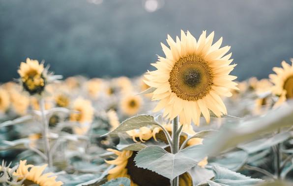 Picture field, nature, flowers, plants, sunflowers, flowering, macros