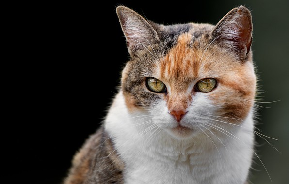 Picture cat, look, background, portrait, muzzle