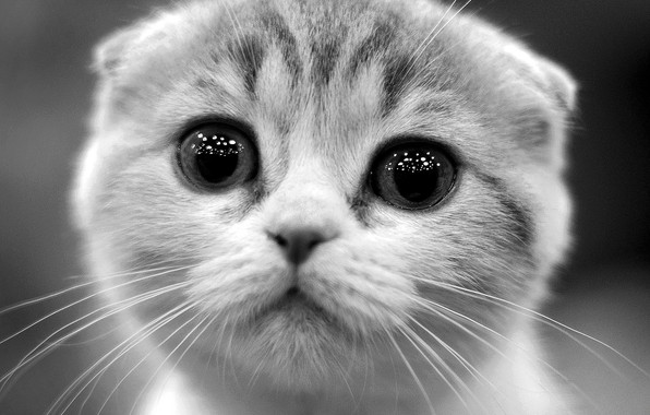 Picture eyes, look, kitty, black and white photo