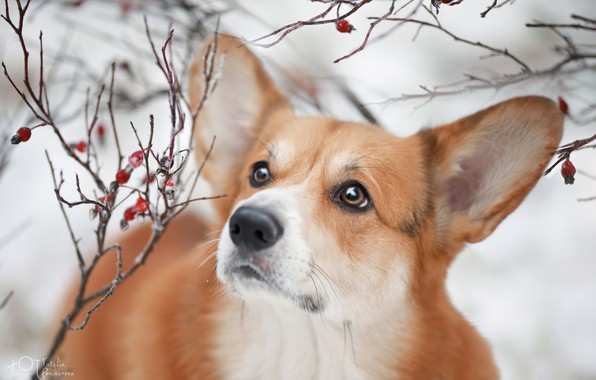 Picture look, branches, dog, ears, face, Welsh Corgi, Natalia Ponikarova