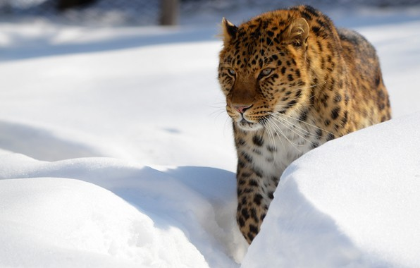 Picture winter, snow, leopard, the snow, wild cat