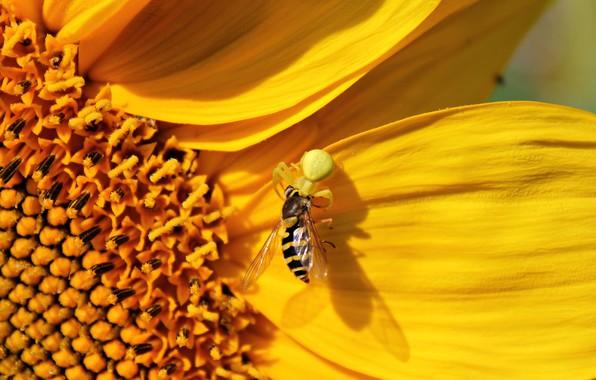 Picture flower, yellow, sunflower, spider, spider, flower, yellow, sunflower