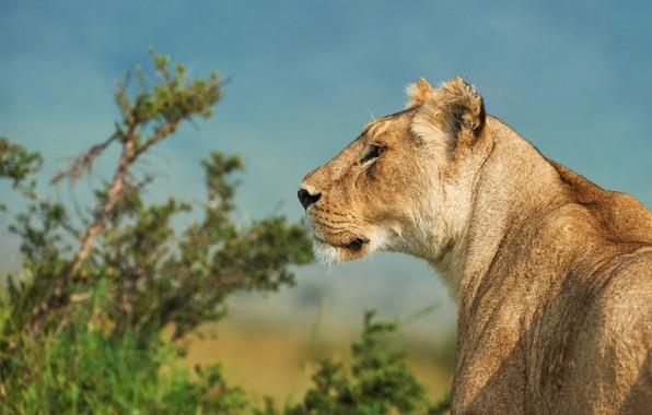 Picture nature, animal, predator, Leo, head, profile, Kalin Botev