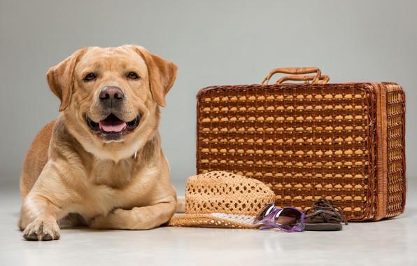Picture look, dog, hat, suitcase, Labrador, beautiful, labrador