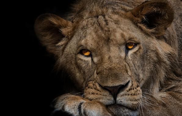 Picture look, face, close-up, portrait, Leo, paws, lies, black background, wild cat