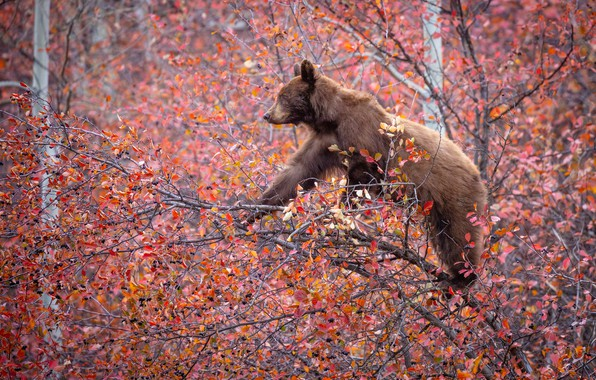 Picture autumn, branches, berries, tree, bear, on the tree