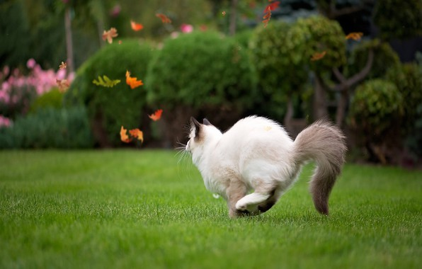 Picture runs, on the grass, in the garden, ragdoll