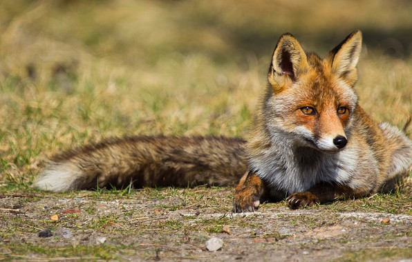 Picture look, nature, Fox, tail, lies