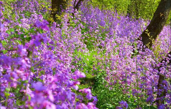 Picture Spring, Purple flowers, Purple flowers